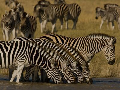 Herd of Burchell's Zebras Drinking at a Watering Hole-Beverly Joubert-Photographic Print