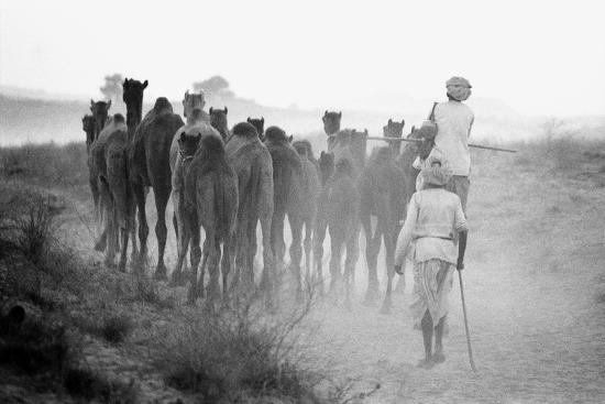 Herd of Camels, Pushkar Fair, Rajasthan, India, 1976--Photographic Print
