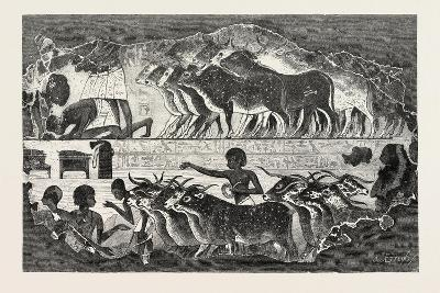 Herd of Cattle Brought before their Owner,From an Egyptian Tomb, Egypt, 1879--Giclee Print