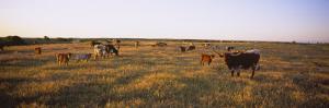 Herd of Cattle Grazing in a Field, Texas Longhorn Cattle, Kansas, USA