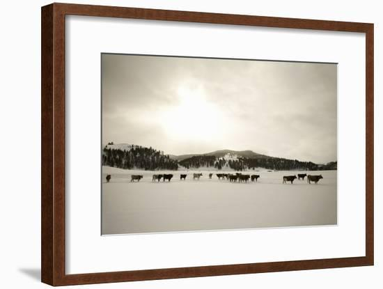 Herd of Cattle in Snowy Field.-Andrew Geiger-Framed Photographic Print