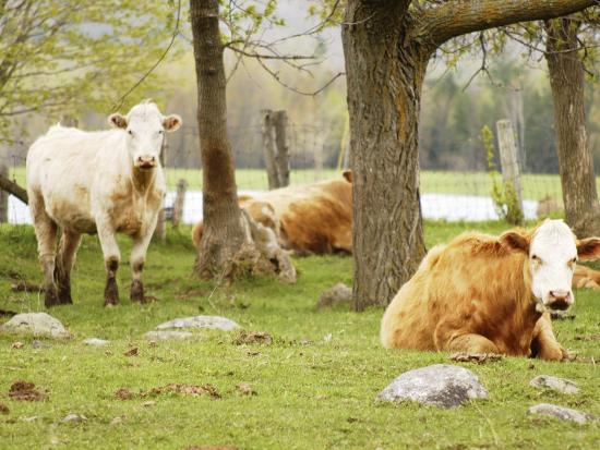 Herd of Cows in Pasture at Farm--Photographic Print