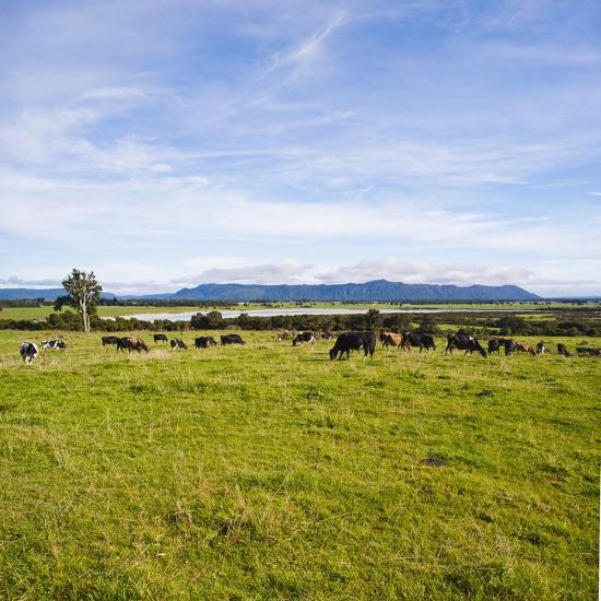 Herd of Cows on Farmland on the West Coast, South Island, New Zealand, Pacific-Matthew Williams-Ellis-Photographic Print
