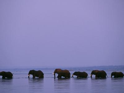 Herd of Elephants Cross the Zambezi River in Line-John Warburton-lee-Photographic Print