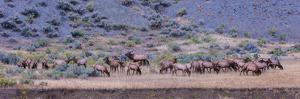 Herd of Elk (Cervus Canadensis) Walking in a Forest, Yellowstone National Park, Wyoming, USA