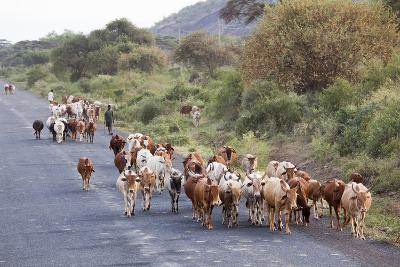 Herd of Farm Cattle on Country Road in Rift Valley, Ethiopia-Martin Zwick-Photographic Print