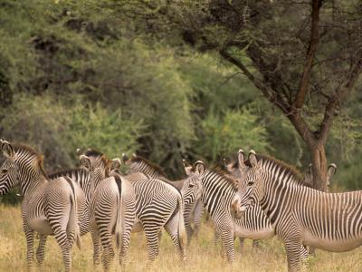 Herd of Grevy's Zebras, Shaba National Reserve, Kenya-Alison Jones-Photographic Print