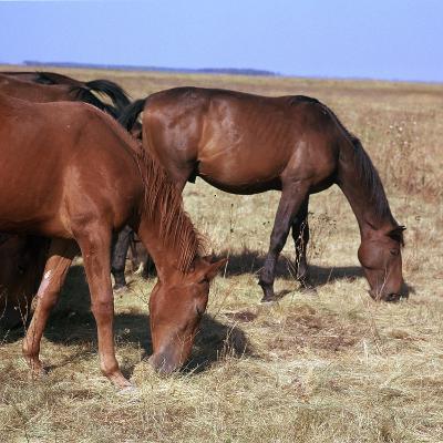 Herd of Horses Grazing on the Hortobagy Plaza-CM Dixon-Photographic Print