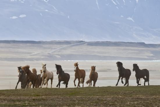 Herd of Icelandic Horses Running, Northern Iceland-Arctic-Images-Photographic Print