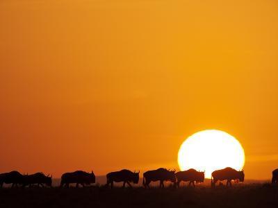 Herd of migrating Wildebeest-Paul Souders-Photographic Print