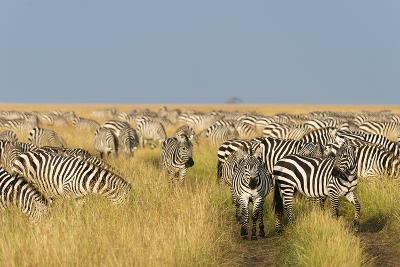 Herd of Plains Zebras, Equus Quagga, in the Grass at Masai Mara National Reserve-Sergio Pitamitz-Photographic Print