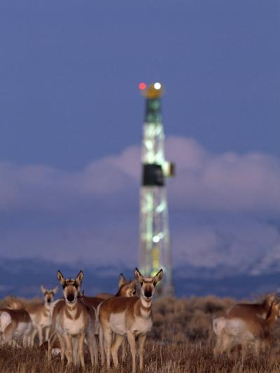 Herd of Pronghorns Graze Near a Natural Gas Drilling Rig-Joel Sartore-Photographic Print