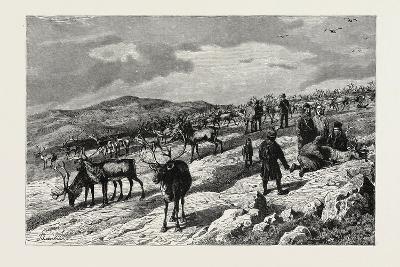 Herd of Reindeer in Lapland--Giclee Print