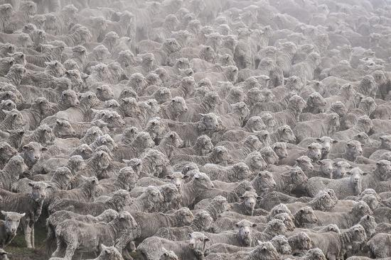 Herd of Sheep from South Island-Marcin Dobas-Photographic Print