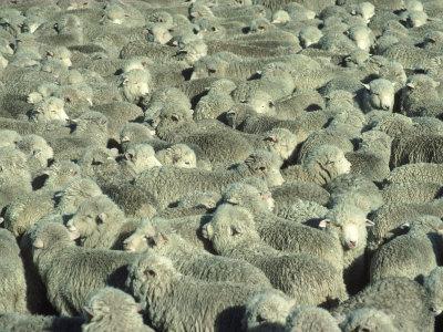 https://imgc.artprintimages.com/img/print/herd-of-sheep_u-l-p3grkt0.jpg?p=0
