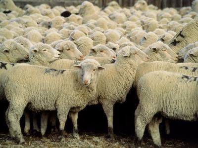 Herd of Sheep-Karen Schulman-Photographic Print