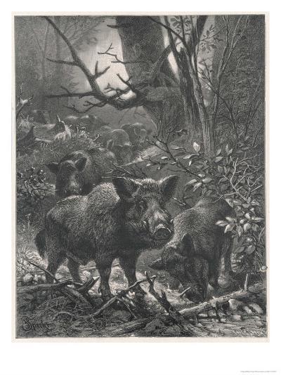 Herd of Wild Boar Wander Through the Woods-Specht-Giclee Print