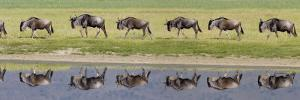 Herd of Wildebeests along a River, Ngorongoro Crater, Tanzania