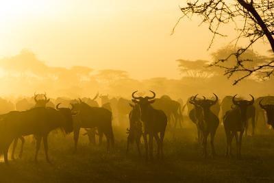 Herd of Wildebeests Silhouetted in Golden Dust, Ngorongoro, Tanzania-James Heupel-Photographic Print