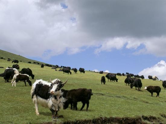 Herd of Yak, Including a White Yak, Lake Son-Kul, Kyrgyzstan, Central Asia-Upperhall-Photographic Print