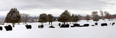 Herd of Yaks (Bos Grunniens) on Snow Covered Landscape, Taos County, New Mexico, Usa