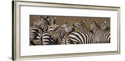 Herd of Zebra Stand in a Plain-Ralph Lee Hopkins-Framed Photographic Print