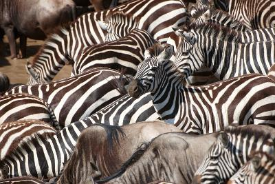 Herd of Zebras (African Equids) and Blue Wildebeest (Connochaetes Taurinus)-hedrus-Photographic Print