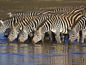 Herd of Zebras Drinking Water, Ngorongoro Conservation Area, Arusha Region