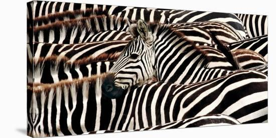 Herd of zebras-Pangea Images-Stretched Canvas Print