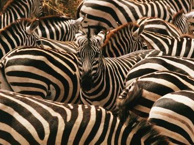 Herd of Zebras-John Conrad-Photographic Print
