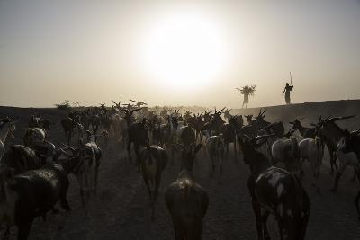 Herders Guide Their Goats Back To Haramfaf Bouri Village In The Afar Region Of Ethiopia-John Stanmeyer-Photographic Print