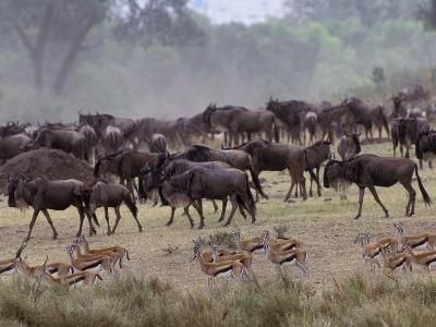 Herds of Gazelle, Zebra, Wildebeest, Topi, Masai Mara Game Reserve, Kenya-Art Wolfe-Photographic Print