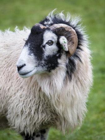 https://imgc.artprintimages.com/img/print/herdwick-sheep-borrowdale-lake-district-cumbria-england_u-l-p6dke40.jpg?p=0