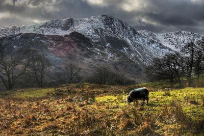 Herdwick Sheep in the Lake District-Alan Sheers-Photographic Print