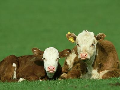 Hereford, Bos Taurus 2 Young Calves Lying in Meadow Yorkshire, UK-Mark Hamblin-Photographic Print