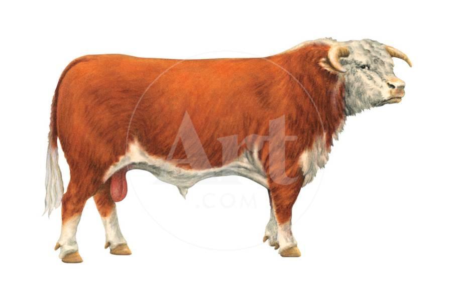 Hereford Bull, Beef Cattle, Mammals Art Print by Encyclopaedia Britannica    Art com