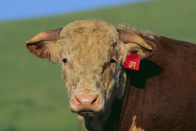 Hereford Bull-DLILLC-Photographic Print