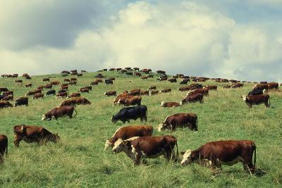 Hereford Cattle Grazing on Hill-James Randklev-Photographic Print