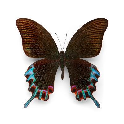 Hermelli Swallowtail-Christopher Marley-Photographic Print