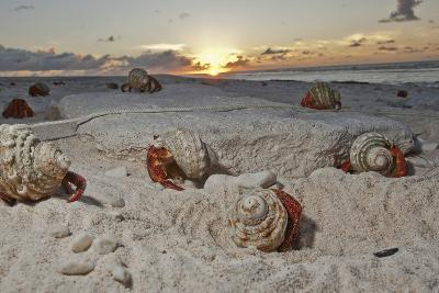 Hermit Crabs Crawl on a Sandy Beach on the Deserted Starbuck Island in the Southern Line Islands-Mauricio Handler-Photographic Print