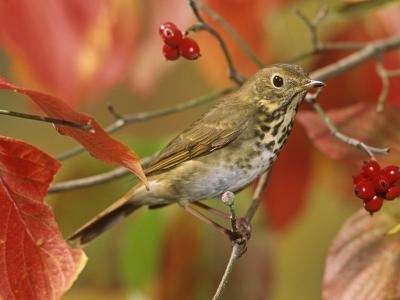 Hermit Thrush (Catharus Guttatus) in a Fall Dogwood Tree, the State Bird of Vermont, USA-Steve Maslowski-Photographic Print