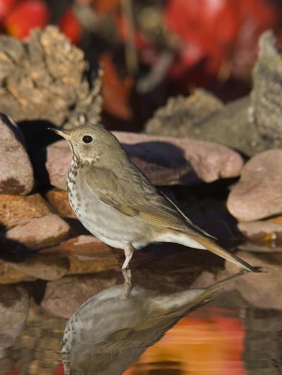 Hermit Thrush (Catharus Guttatus) Standing in Water, Santa Rita Mountains, Arizona-Tom Vezo/Minden Pictures-Photographic Print