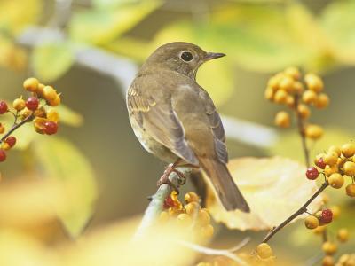 Hermit Thrush (Catharus Guttatus), the State Bird of Vermont, USA-Steve Maslowski-Photographic Print