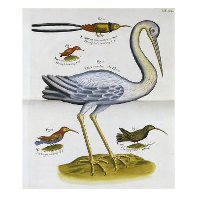 Heron and Humming Birds, from 'A Voyage to the Islands of Madera, Barbados, Nieves, S Christophers…-Sir Hans Sloane-Giclee Print