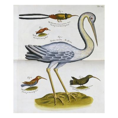 Heron and Humming Birds, from 'A Voyage to the Islands of Madera, Barbados,-Sir Hans Sloane-Giclee Print