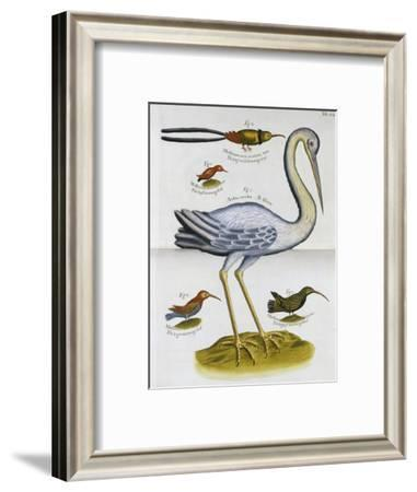 Heron and Humming Birds, from 'A Voyage to the Islands of Madera, Barbados,-Sir Hans Sloane-Framed Giclee Print