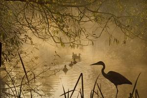 Heron Autumn Mist over Woodland Pond with Ducks