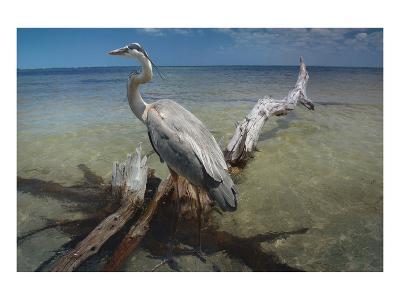 Heron Crossroad-Steve Hunziker-Art Print