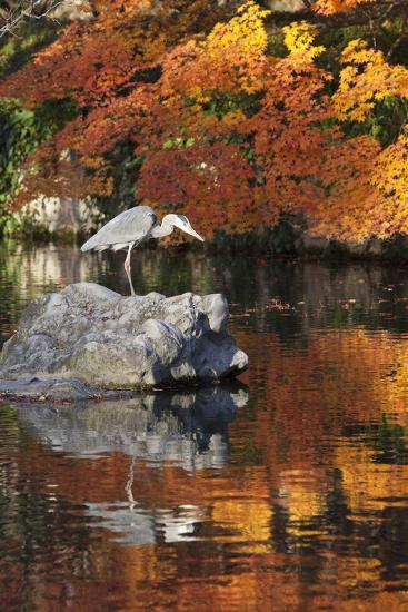 Heron on Lake in Autumn, Eikan-Do Temple, Northern Higashiyama, Kyoto, Japan-Stuart Black-Photographic Print