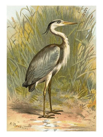 Heron-English-Giclee Print